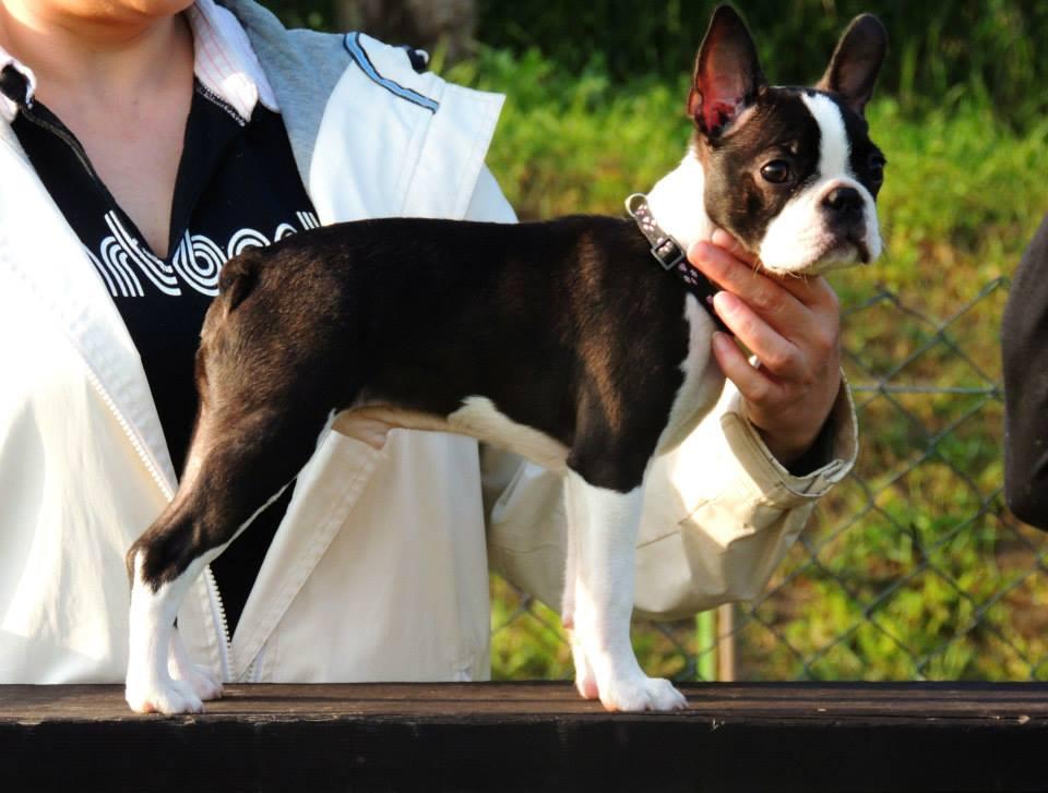 Vikomt de Valmont VP,BIS minor puppy